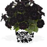 Sweetunia Black Satin