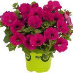 Potunia Piccola Hot Pink