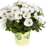 Potunia Piccola White