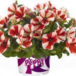 Petunia Peppy Red