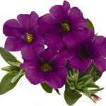 Calibrachoa Aloha Kona Dark Lavender