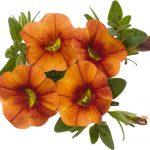 Calibrachoa Aloha Kona Hot Orange