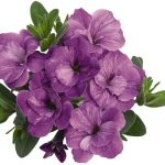 Calibrachoa Aloha Double Lavender