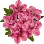 Calibrachoa Aloha Double Pink Star