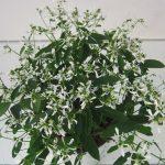 Euphorbia Diamont Frost