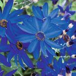 Pericallis Senetti Deep Blue