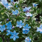Lithodora Heav Blue