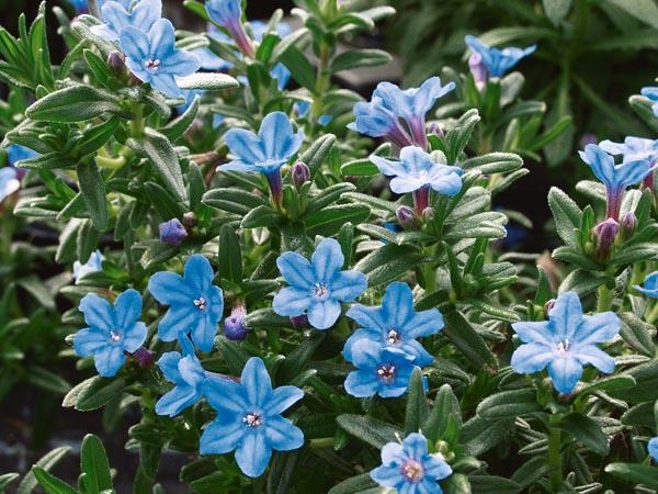 Etwas Neues genug Frühjahrsblüher - Gartenbau Busch & Opgenhoff GbR &HA_68