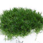Sagina grün