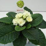 Primula belar Cream Buttercup