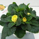Primula Buttercup Yellow