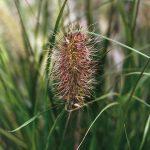 Penisetum Hameln