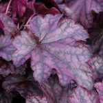 Heuchera Blackberry Jam