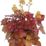 Heuchera Little Cuties Blondie