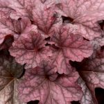 Heuchera Berry Smothie