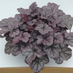 Heuchera Silver Lord