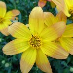 Bidens BEEDANCE Yellow