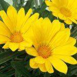 Gazania Yellow Magic