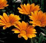 Gazania Orange Magic