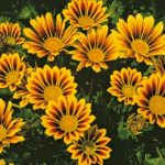 Gazania New Magic
