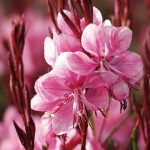Gaura Lollipop Pink