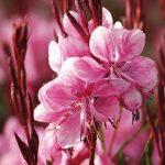 Gaura Lollipop Pink