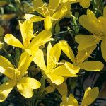 Oenothera Lemon Drop