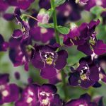 Angelonia Dark Violet