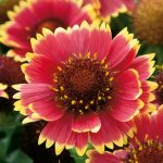 Gaillardia Two Moon
