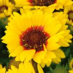 Gaillardia Yellow Shield