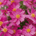 Coreopsis Pink Lady