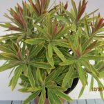 Euphorbia amygdal