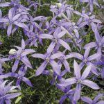 Isotoma axillaris Tristar Deep Blue
