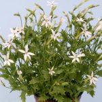 Isotoma axillaris Tristar White