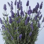 Lavandula angustifolia Lavance Purple