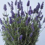 Lavandula angustifolia Lavance Purple