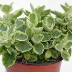 Helicrysum variegatum