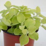 Helichrysum gelblaubig