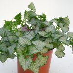 Lamium White Nancy T11
