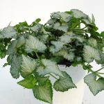 Lamium White Nancy T12
