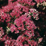 Sedum Garnet Brocade