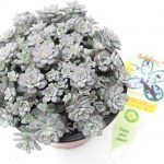 Sedum Cape Blanco T12
