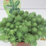 Sedum Green Ball