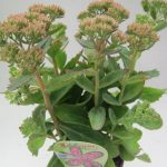 Sedum Munstead Dark red