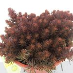 Sedum Chocolate Ball