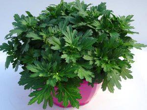 "Chrysanthemum indicum ""Pemba"""